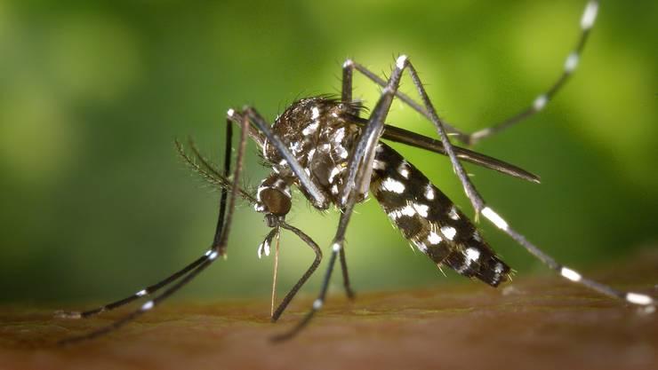 Die Asiatische Tigermücke breitet sich in Basel weiter aus. In den Kaiseraugster Fallen wurde sie diesen Sommer bisher noch nicht nachgewiesen.