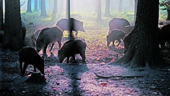 Der Wildschweinbestand in französischen Wäldern steigt rasant an.