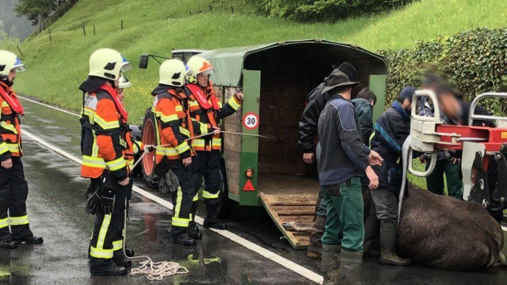 Endlich gefasst: In Lauerz ist ein Rind durchgebrannt und hat einen Rentner verletzt.