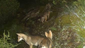Die vom Bündner Amt für Jagd und Fischerei im Spätsommer 2014 veröffentlichten Bilder aus einer Fotofalle zeigen Wolfswelpen aus dem Calanda-Rudel. (Archiv)