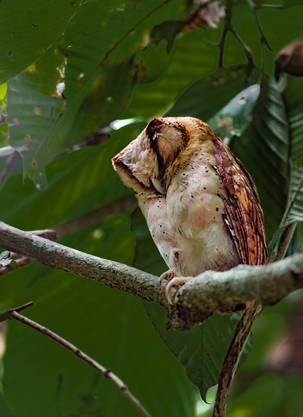 Die nachtaktive Maskeneule ist tagsüber schwierig zu entdecken. Bild: Manoj Narayanan