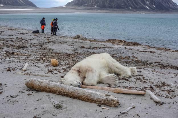 Dieser Eisbär ist auf der norwegischen Insel Sjuoyane vor zwei Jahren erschossen worden, nachdem er einen Touristenführer angefallen hatte.