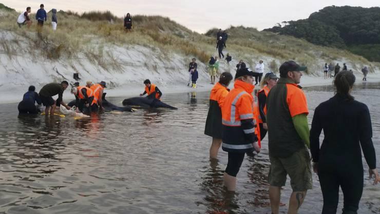 Die Helfer konnten mit Hilfe von Pontons sechs Wale 400 Meter weit ins offene Meer bringen.