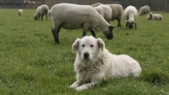 Herdenschutzhunde der Rasse Maremmen-Abruzzen-Schäferhunde bewachen eine Schafherde in Thierachern bei Thun.
