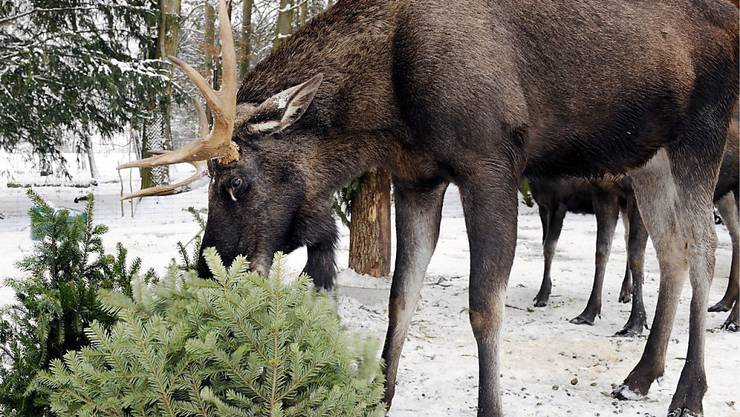 Für Elche im Zürcher Wildnispark Langenberg sind Christbäume ein Festschmaus. (Archivbild)