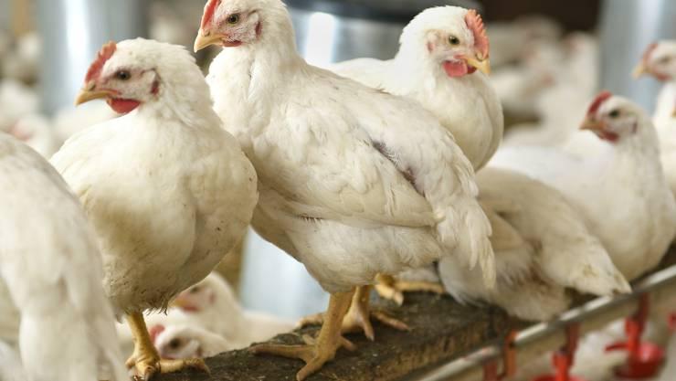 Diese Hühner legen zuerst zuverlässig Eier und eignen sich dann doch noch für den Grill.