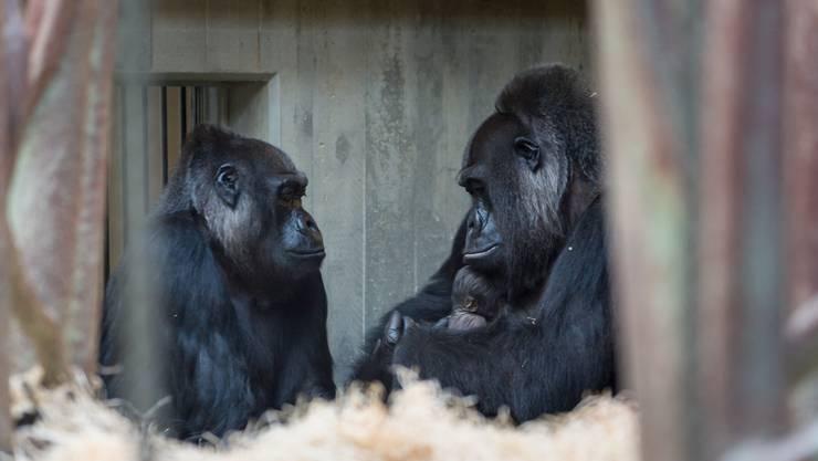 Gorillas im Basel Zolli.