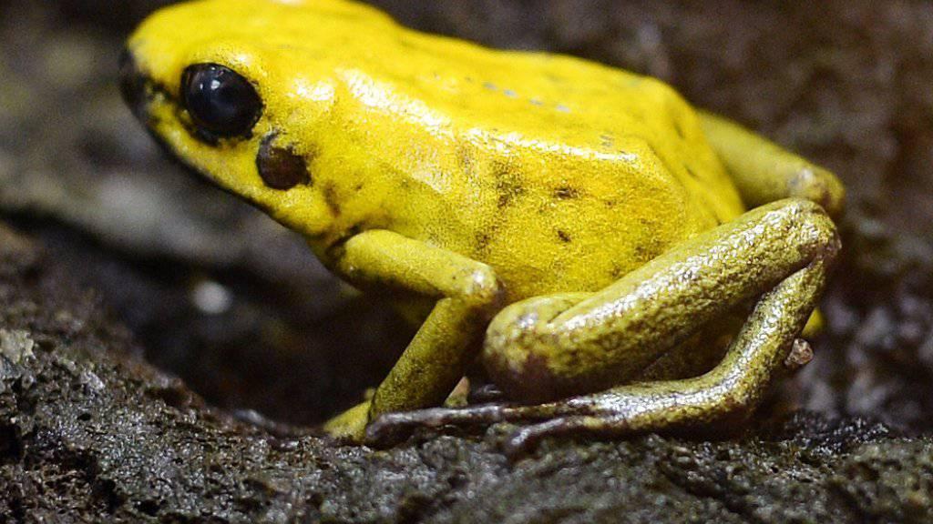 Viele Amphibien sind vom Aussterben bedroht, darunter auch der Goldene Pfeilgiftfrosch. Der Zoo Zürich, in dem dieses Exemplar zuhause ist, unterstützt daher ein Schutzprojekt in Kolumbien.