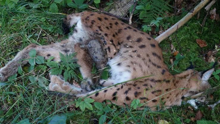 Das junge Luchsweibchen, das am 25. September in Schwellbrunn AR tot gefunden wurde, starb an einer Schussverletzung. (Kanton Appenzell Ausserrhoden)