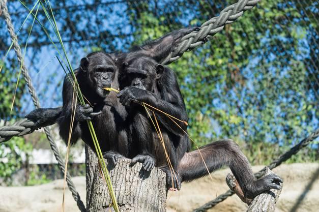 Am Donnerstag, 5. September 2013, um 10.30 Uhr sind die drei neuen Schimpansen im Zoo Basel angekommen.