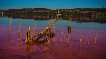 Der rot gefärbte Hallwilersee bei Beinwil am See.