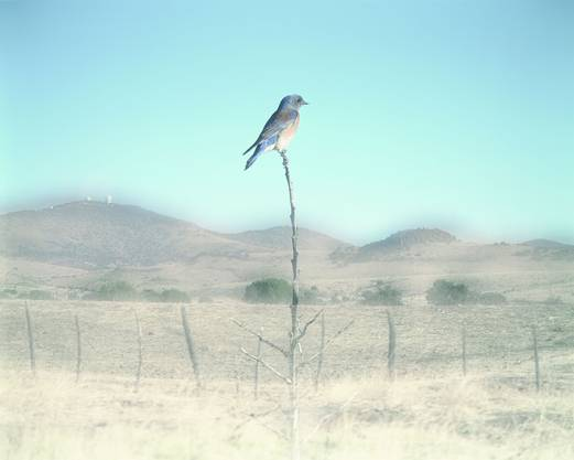 Drei Monate arbeitete und wartete Jean-Luc Mylayne, bis der Bluebird ihn dieses Bild vollenden liess. Darauf verweist der Titel «N° 450, Janvier Février Mars 2007».