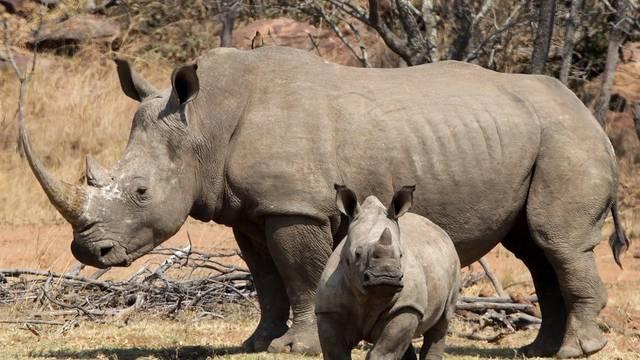 Die Jagd auf Nashörner in Südafrika nimmt kein Ende (Archiv)