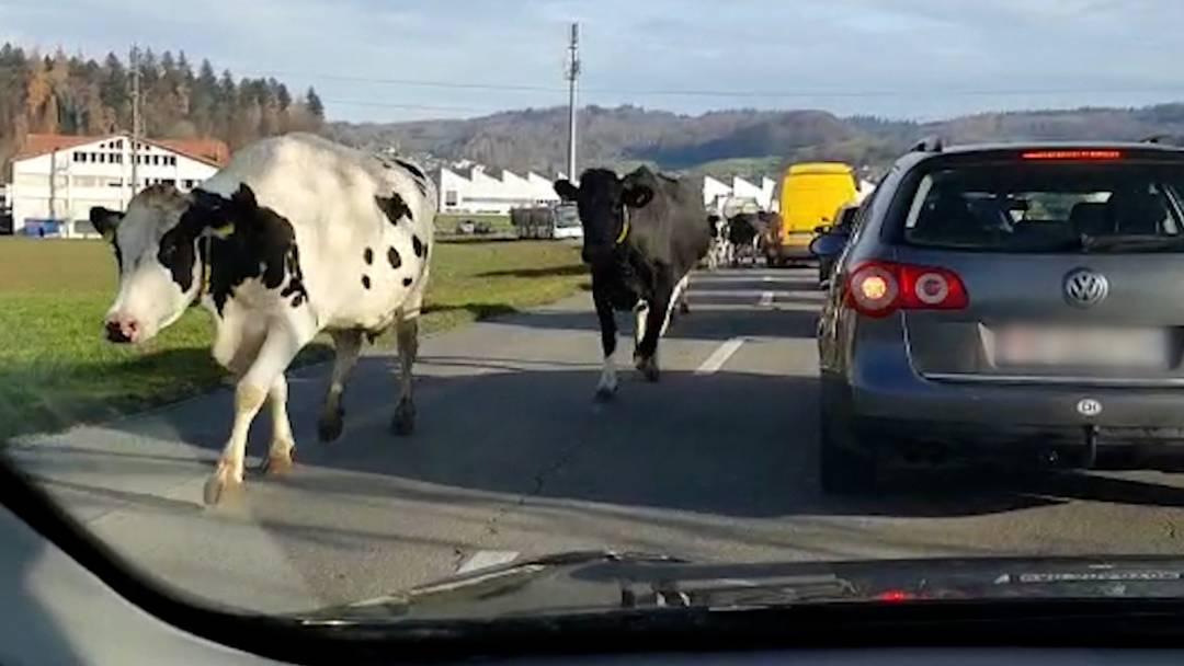 Unerwarteter Gegenverkehr: Ausgebüxte Kühe blockieren Strasse in Seon