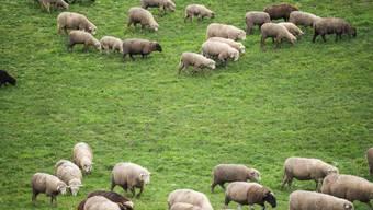 Zum zweiten Mal innert kurzer Zeit haben Wölfe mehrere Schafe im Sarganserland gerissen. (Symbolbild)