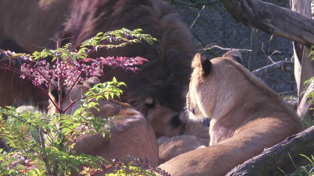 Familienglück: Löwenfamilien im Walterzoo vereint