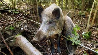 Der Fricktaler Jagdverein Berg löst sich auf, weil sich zu viele Wildschweine im Revier aufhalten