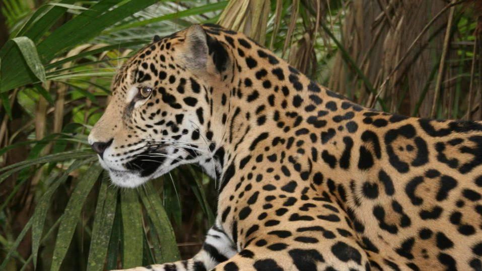 Im neu geschaffenen Nordostkorridor leben etwa 26 Jaguare.