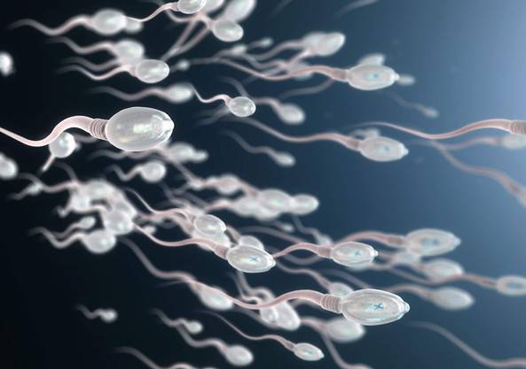 Pro Milliliter Samenflüssigkeit weist ein gesunder Mann ungefähr 15 Millionen oder mehr Spermien auf.