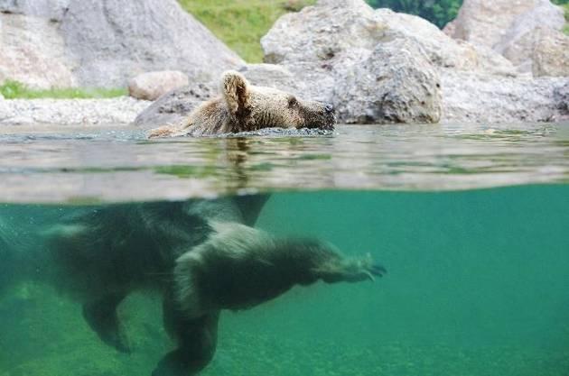 Auch die Syrischen Braunbären kühlen sich im Wasser ab oder geniessen ein leckeres «Bärenglacé» aus Wasser, Honig und Früchten.