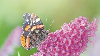 Schön, aber trotzdem ein Neophyt: Der Sommerflieder, auch Schmetterlingsbaum genannt.