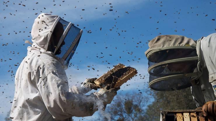 Im Bienensturm ist Schutzkleidung gefragt: Auch immer mehr Laien-Imker versuchen sich an der anspruchsvollen Arbeit.