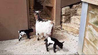 Im Oltner Wildpark Mühletäli kamen vor Kurzem drei Ziegen zur Welt. Kurz darauf sind die Neugeborenen verschwunden und werden seither vermisst. Was mit den Ziegenbabys geschehen ist, ist derzeit noch unklar.