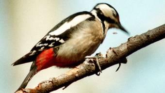 Der Buntspecht - Vogel des Jahres 2016 - ist auf grosse, alte Bäume angewiesen. (Archiv)