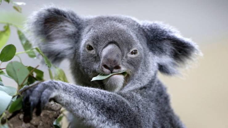 Endlich bedrohen keine Waldbrände mehr die Australischen Koalas.