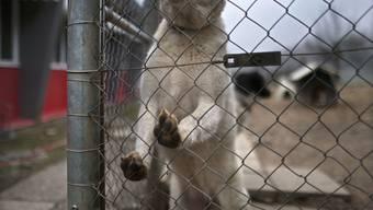 Am Mittwoch, 7. August, kreuzten sich die Wege zweier Hunde. Das Gassigehen endete blutig. (Symbolbild)