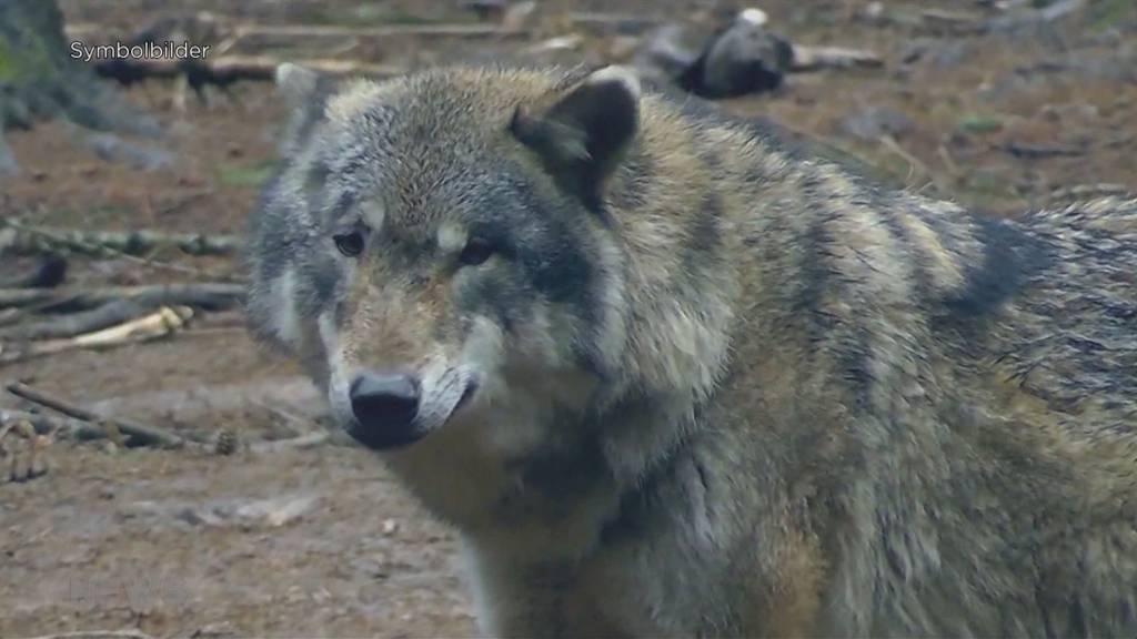 Petition fordert Wolfs-Abschuss
