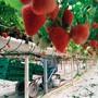 Die Schweizer Erdbeeren werden dieses Jahr vielerorts von Bekannten aus dem Umfeld der Produzenten gepflückt. (Symbolbild)