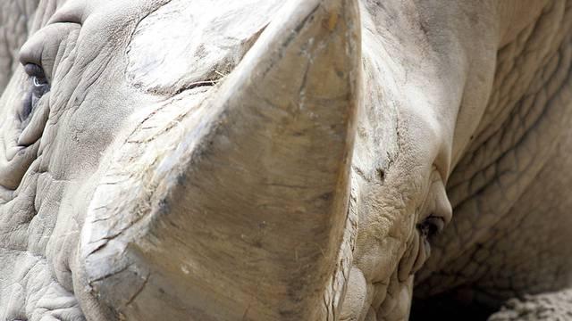 Begehrtes Objekt: Das Horn eines Nashorns (Archiv)