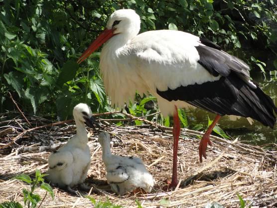 Mutter (Vater) Storch spendet dem Nachwuchs Schatten