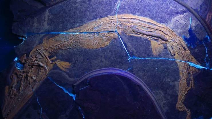 Fossil des ausgestorbenen Raubfisches Saurichthys.
