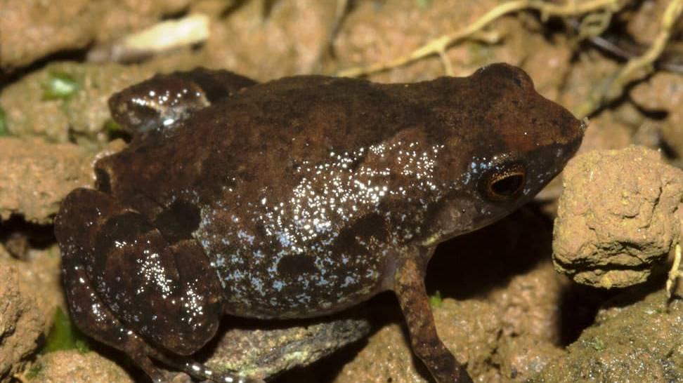 Neue Froschart entdeckt – schon vom Aussterben bedroht