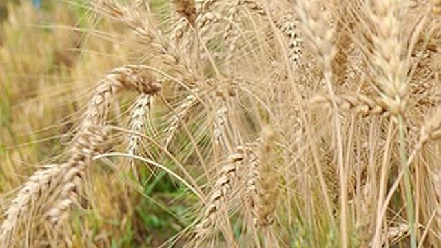 Weizensaat für Pakistan (Symbolbild)