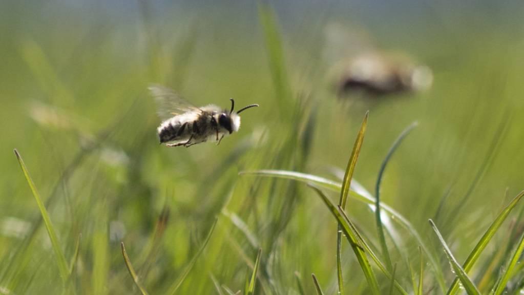 Der Basler Syngenta-Konzern will ein bienenfreundliches Insektizid lancieren. Der Wirkstoff gehört zu einer Klasse von Insektiziden, die Nutzpflanzen von innen heraus vor dem Angriff von Schädlingen schützen sollen. (Archivbild)