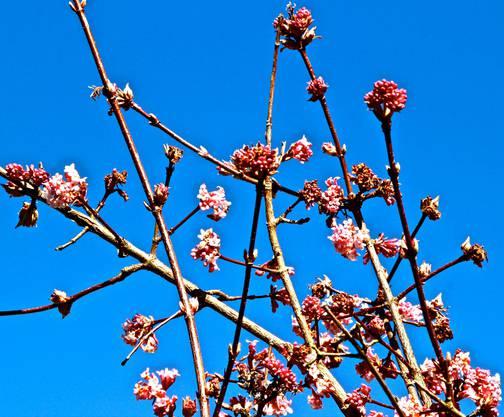 Die Sträucher blühen bei schönem Frühlingswetter (Leserbild von Andreas Petrin)