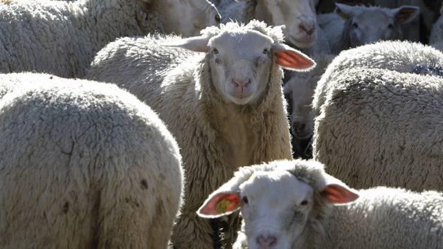 Eine Schafherde (Archiv)