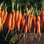 Rüebli sind in der Schweiz hoch im Kurs: 7,9 Kilogramm werden jährlich pro Kopf gegessen. An zweiter Stelle der Gemüse-Hitparade folgen Tomaten. (Symbolbild)