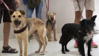 Die meisten dem Schweizer Tierschutz im vergangenen Jahr gemeldeten Tierschutzfälle betrafen die Haltung von Hunden. (Symbolbild)