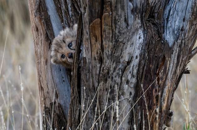 Geparden sind vom Aussterben bedroht.