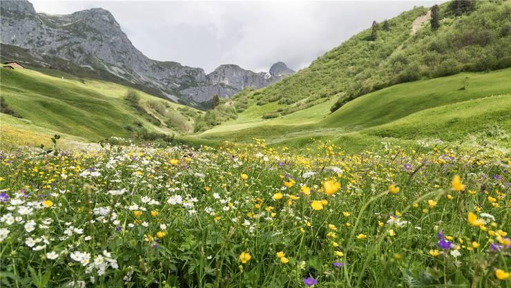 Mehr als ein Drittel der hiesigen Tier- und Pflanzenarten (im Bild eine Magerwiese im bündnerischen St. Antönien-Partnun) sind bedroht.