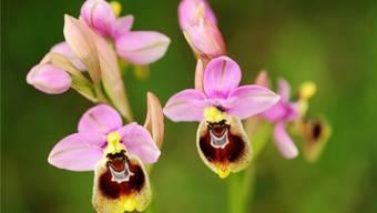 Bienenmännchen halten die Ophrys-Orchideen für Artgenossinnen.