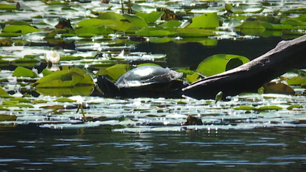 Schildkröten-Nachwuchs im Bettenauer Weiher – Naturschützer sind alarmiert