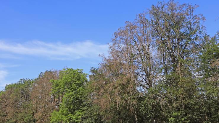 Die Folgen des Sommers 2018: Nach der damaligen Hitze und Dürre bleiben im Juni 2019 an diesem Waldrand die Kronen zweier Buchen licht – sie sind zum grössten Teil abgestorben.