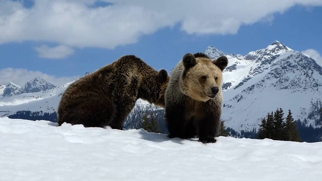 Die Aroser Bären spielen im Schnee