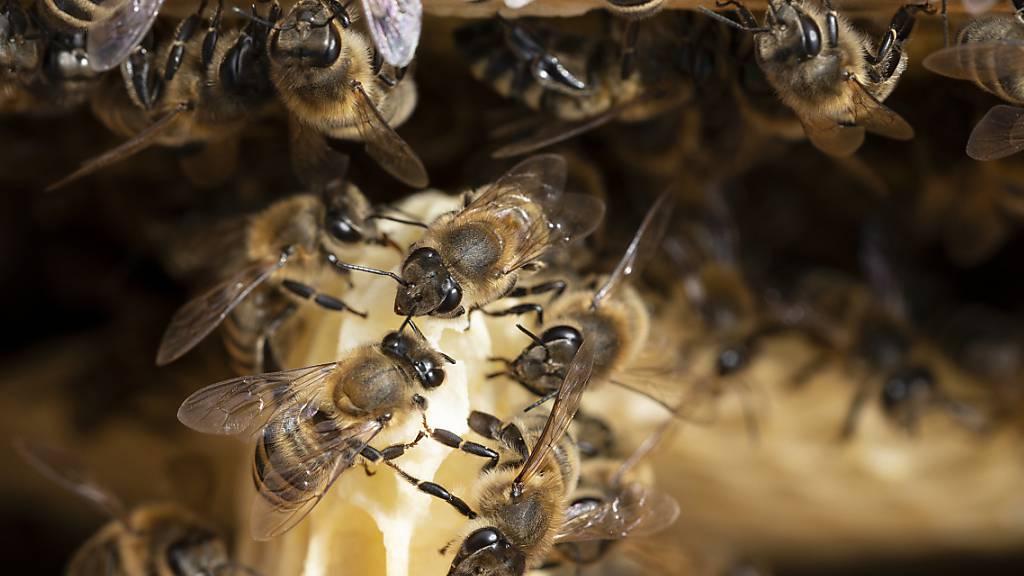 Auch Bienenvölker können gestohlen werden. Die St. Galler Polizei vermutet als Täter Personen mit Fachkenntnissen. (Symbolbild)