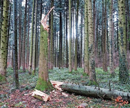 Wie ein geknicktes Zündhölzli: Baum im Wald zwischen Abtwil und Holderstock, Gemeinde Sins.